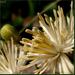 Iszalag virága