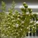 Bimbózó virágfürt