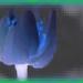 Hársfavirág fantázia