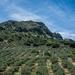 olivafák