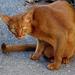 sátáni macska