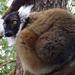 Bp- állatkert -galléros maki