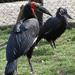 Bp- állatkert - kaffer szarvasvarjú