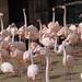 Bp- állatkert - flamingók