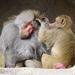 Bp- állatkert - páviánok