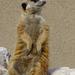 Bp- állatkert - szurikáta