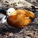 Bp- állatkert - kacsa -- vörös ásólúd2