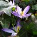Bp- állatkert - krókusz lila