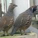 Bp- állatkert - bóbitás fürj-madárpár 1