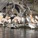 Bp- állatkert - pelikánok 1