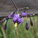 Kaszó 21 csucsor virág