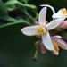 Citrom virága