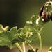 simple geranium
