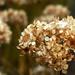 Száraz kányabangita virágok