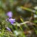 Harangvirág