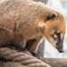 ormányos medve (Nasua nasua)