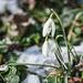 hóvirág
