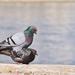 Emeletes galambok