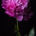 Pünkösd rózsája