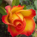 Rózsák 19.