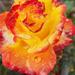 Rózsák 21.