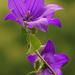 Harang virág