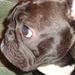 Gyűjtemény - Beni - Francia Bulldog