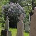 Ó temető, orgonavirágzás idelyén.