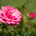 Kerti rózsa