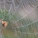 Pók zsákmányra les Felcsúton