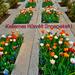 Széchenyi téri tulipánok 003