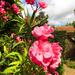 dupla rózsaszín