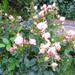 bimbós rózsa