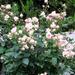 egy tő rózsa