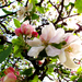 virágzó almafa
