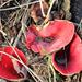 Piros csészegomba