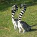 Veszprémi állatkert Gyűrűsfarkú maki 3
