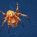 Araneus diadematus ♀