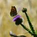 Pillangó a búzamezőben