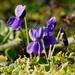 Lila kisvirágok