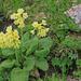 Primula elatior - sugárkankalin