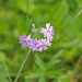 Primula farinosa - lisztes kankalin