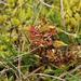 Drosera rotundifolia - kereklevelű harmatfű