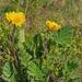 Geum montanum - hegyi gyömbérgyökér