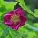 Rosa pendulina - havasalji rózsa