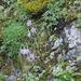 Dianthus plumarius subsp praecox - korai szegfű rózsaszín