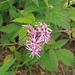 Lychnis flos-cuculi - réti kakukkszegfű