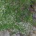 Gypsophila repens - havasi fátyolvirág