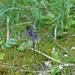 Swertia perennis - gyásztárnics