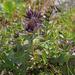 Bartschia alpina - havasi kantusfű